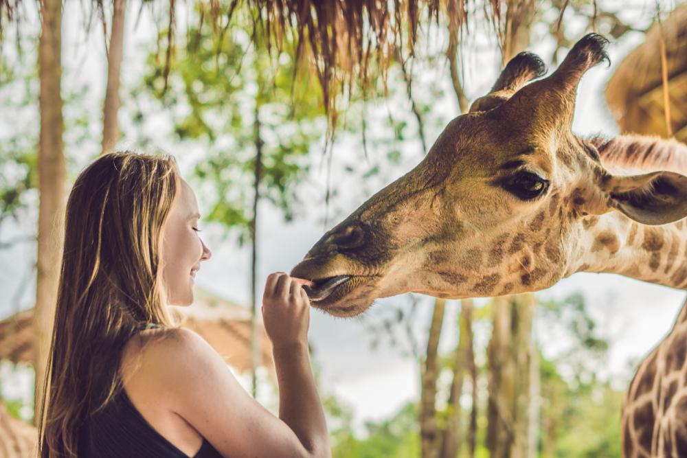 キリンに餌をあげる女性