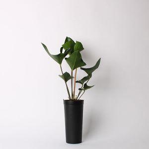【オンライン限定】アンスリウムグリーン 3.5号ロングポット 土苗