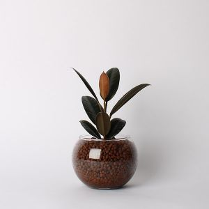 【オンライン限定】ハイドロ バルンボール 150 フィカス・バーガンディ(ゴムの木)