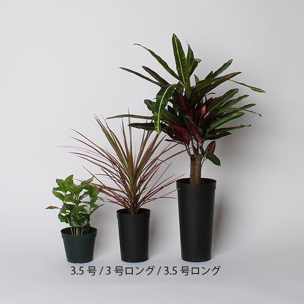 【オンライン限定】ドラセナ・コンシンネ 3.5号 土苗