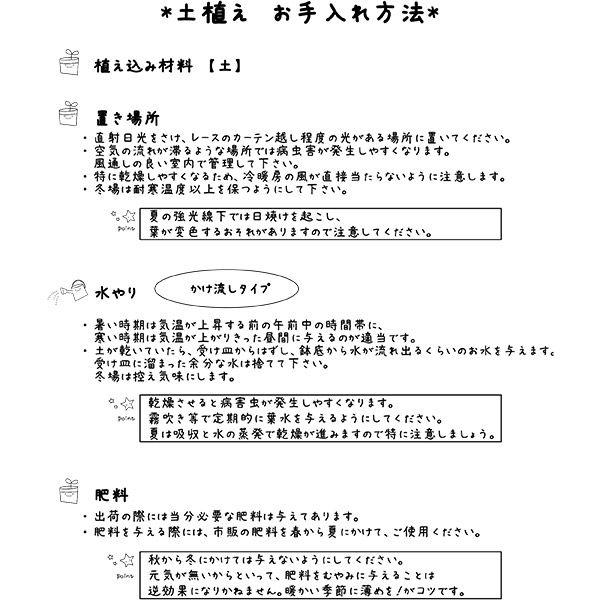 【オンライン限定】ガジュマル 3.5号 土苗
