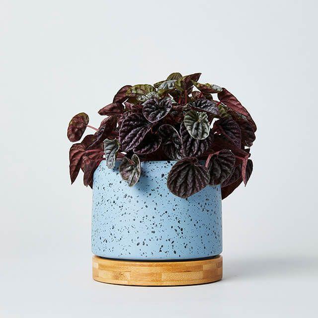 オーサプランター バンブー受皿付き ブルー