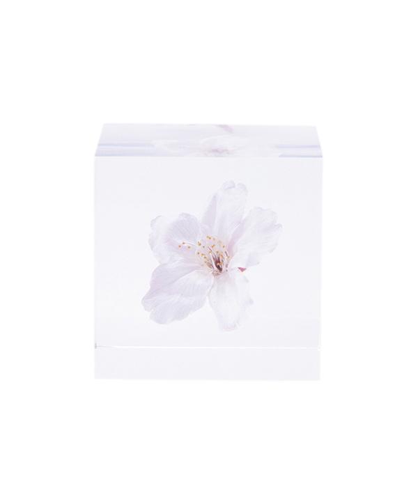 【限定商品】Sola cube / ソメイヨシノ