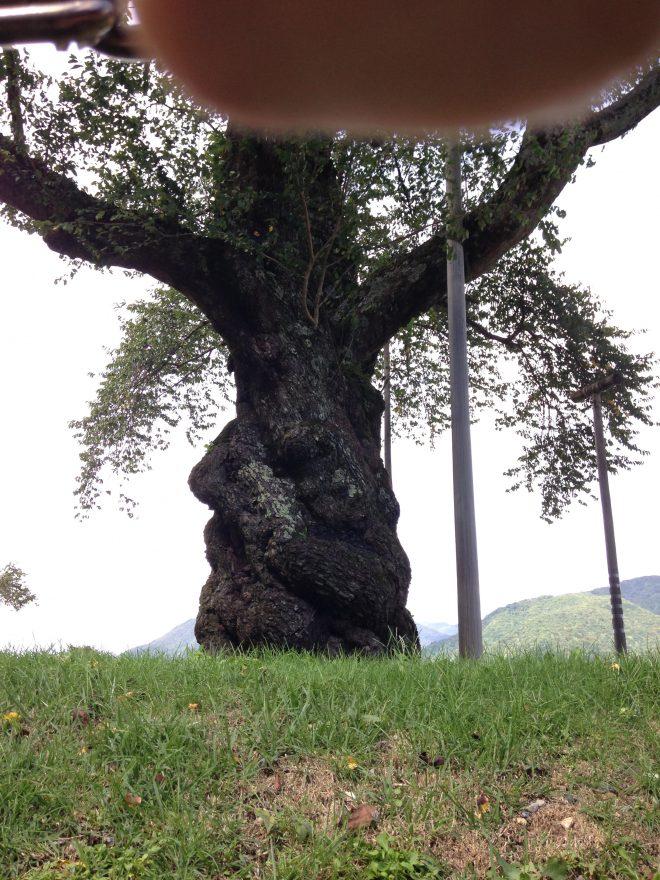 指が写り込んだ、まさかの荘川桜。岐阜県指定天然記念物です。