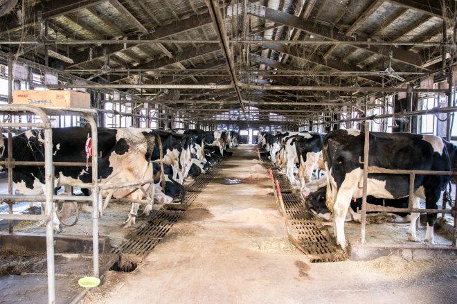 松本牧場の牛舎。乳牛の体の大きさにびっくり。