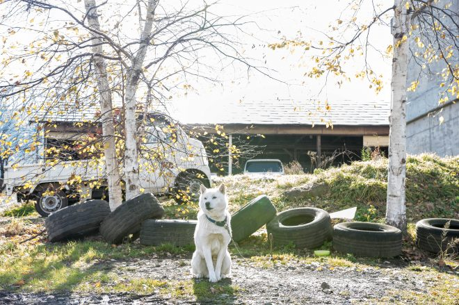 松本牧場の番犬である、アイヌ犬の「ダイスケ」。気性が荒いのか、噛みつかれる人が多いらしい。