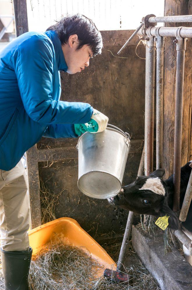 子牛にミルクを与える。ミルクを入れたバケツに乳首がついたミルクバーという哺乳瓶で飲ませる。