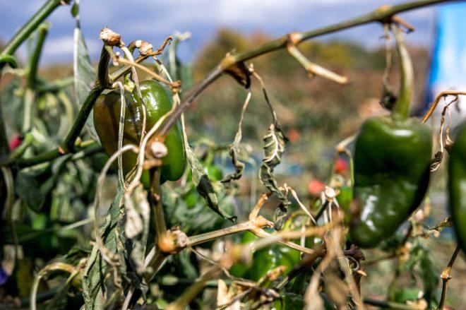 霜が降って傷んでしまって収穫できなかったピーマン。