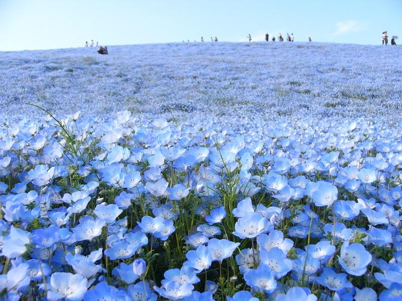 ネモフィラの青い丘