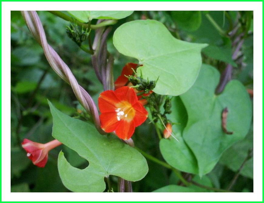 <マルバルコウソウ>の花