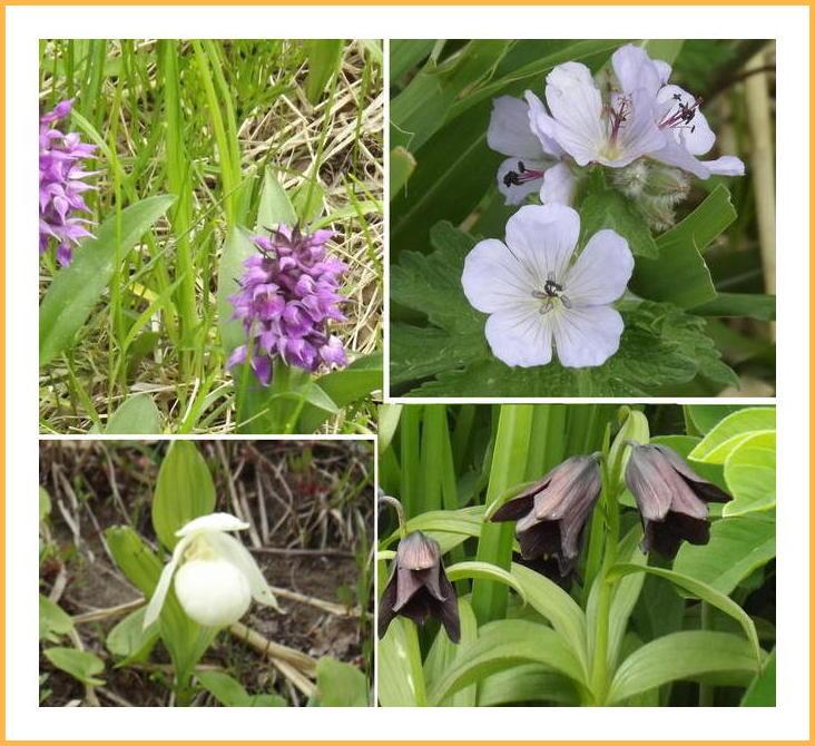礼文島の花々