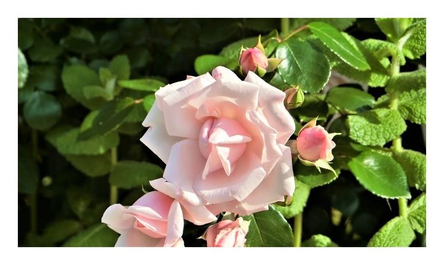 我が家でも薔薇が・・・