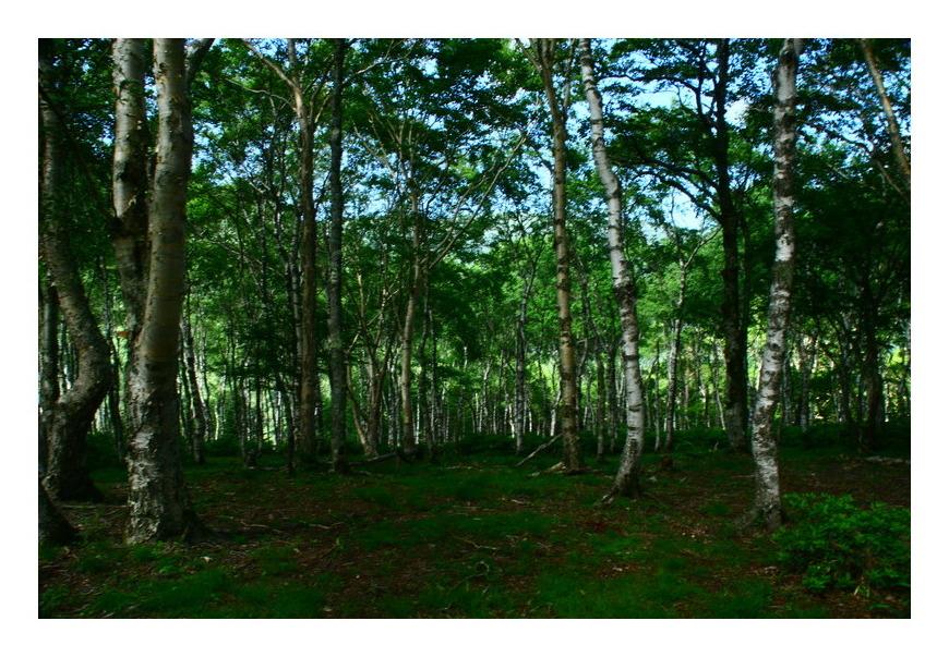 白樺群生林
