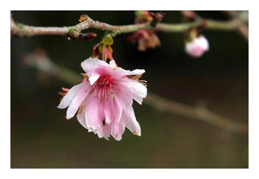 寒桜それとも狂い咲き?