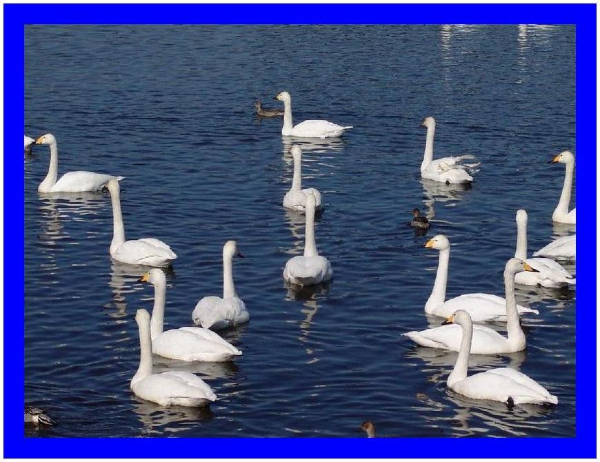 白鳥の楽園