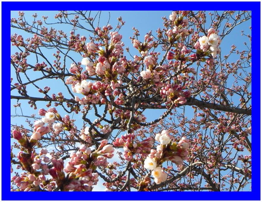 山形は桜祭りです