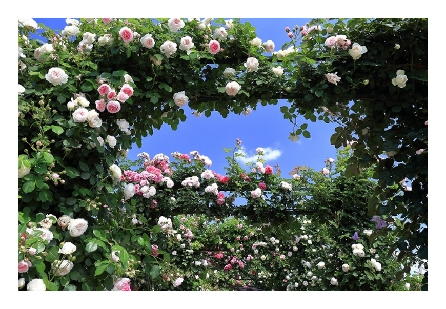 薔薇トンネル