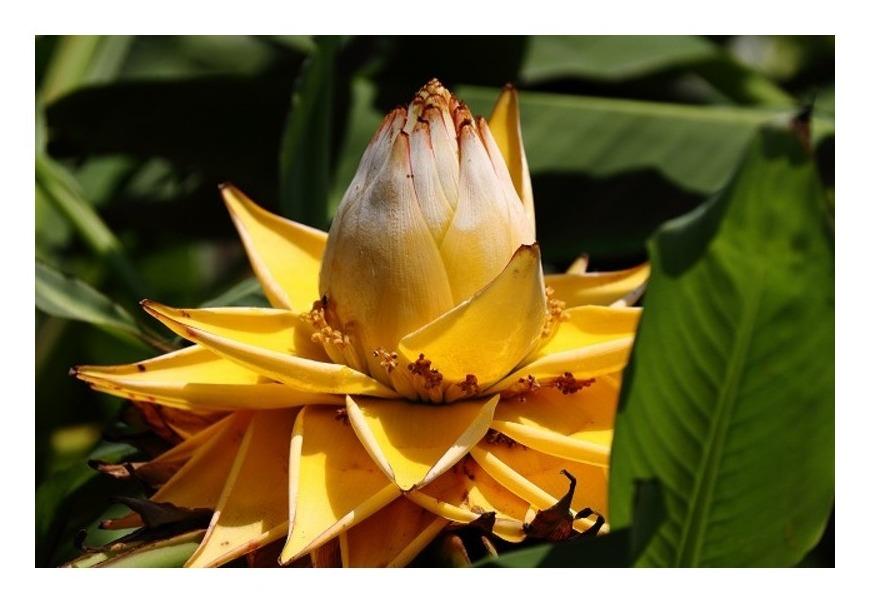 チョウキンレンという花