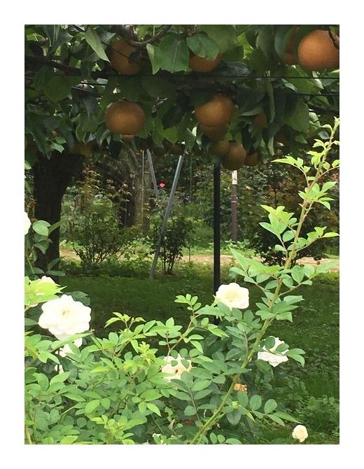たくさんのバラが咲いてる梨園。