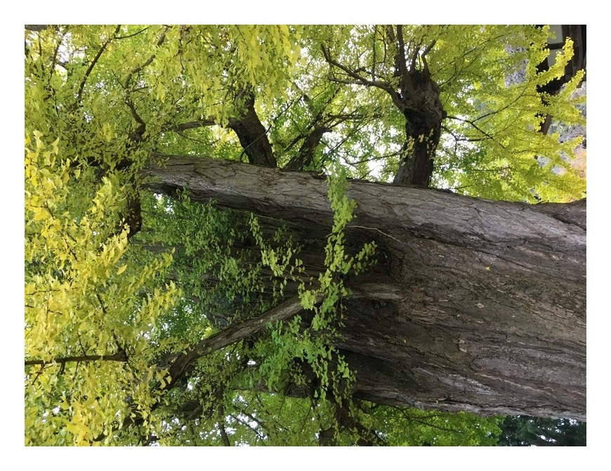樹齢800年大イチョウ
