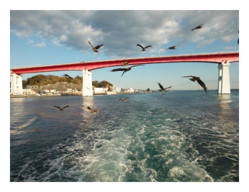 城ヶ島大橋とトンビ