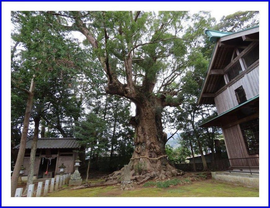 樹齢千年以上とか