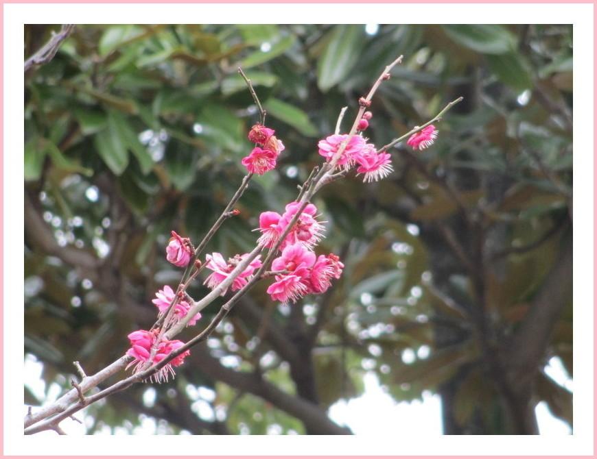 紅梅の小枝