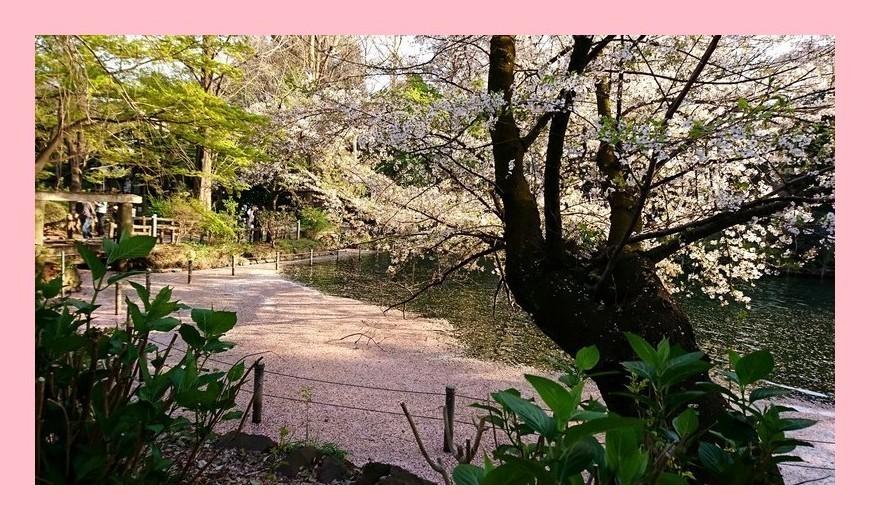 井の頭公園の花筏