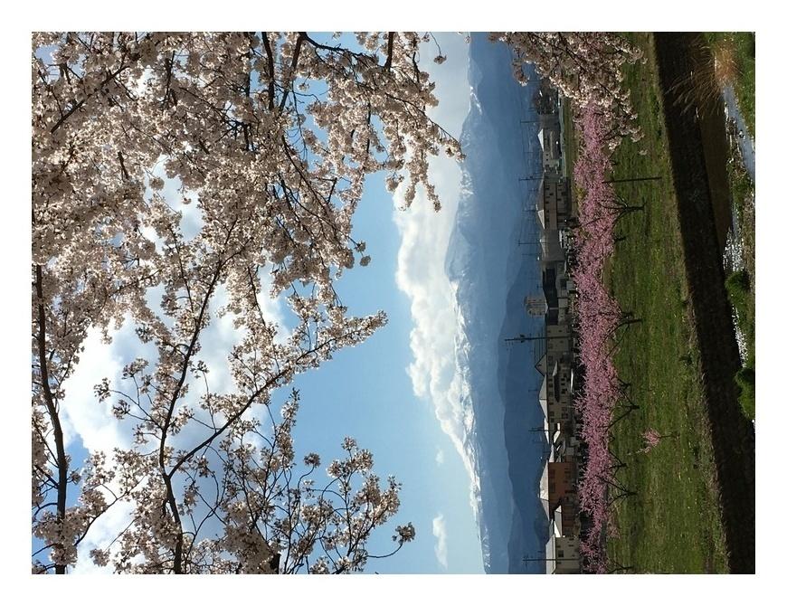 桜、桃の花、満開です!