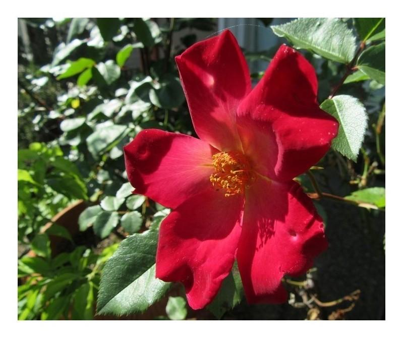 つる薔薇「カクテル」