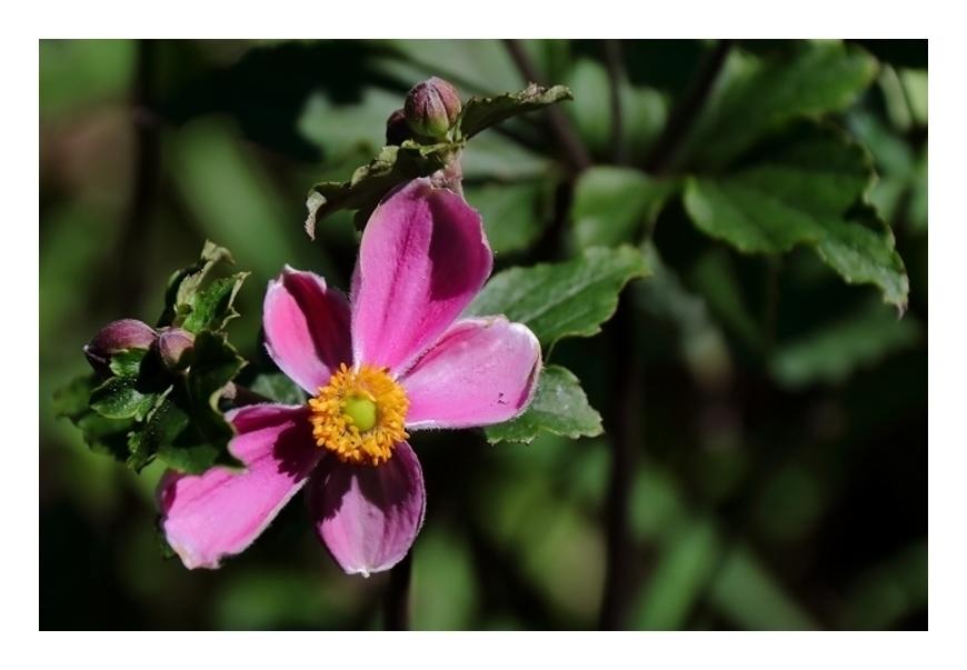 咲き始めのシュウメイギク