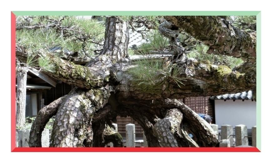 善照寺の冨生の松