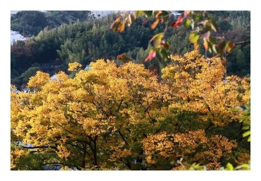 綺麗に色づいた黄葉