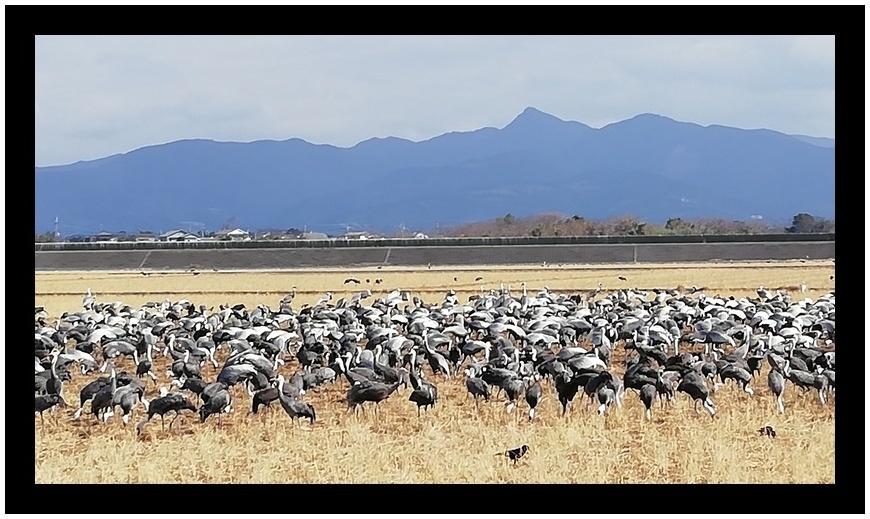 鹿児島県出水市の鶴の飛来地