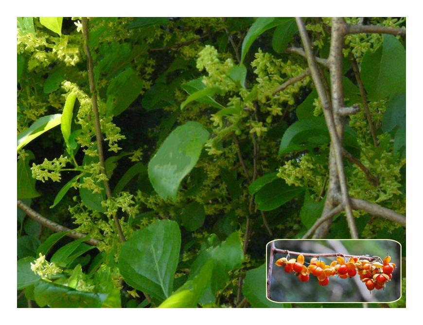 赤い実の木(21) ツルウメモドキ