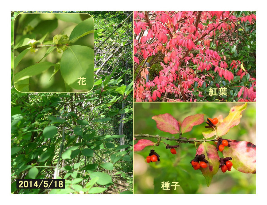 赤い実の木(22) ニシキギ