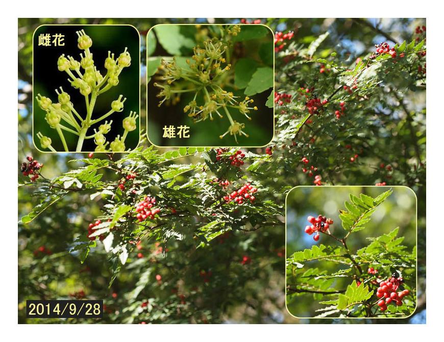 赤い実の木(25) サンショウ