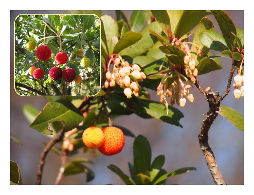 赤い実の木(29) イチゴノキ