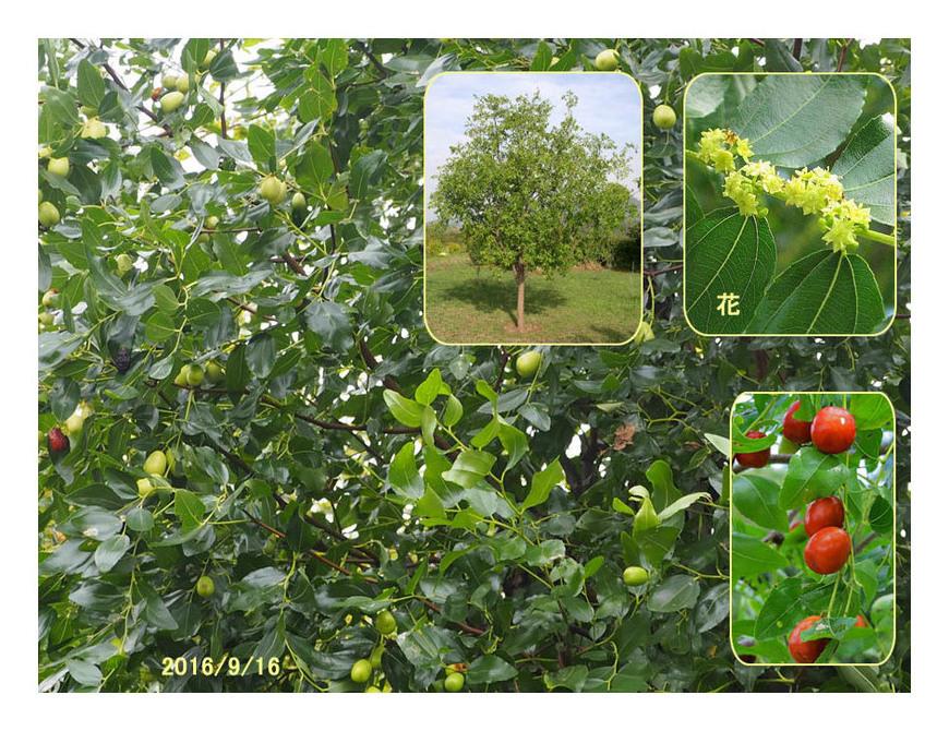 赤い実の木(32) ナツメ