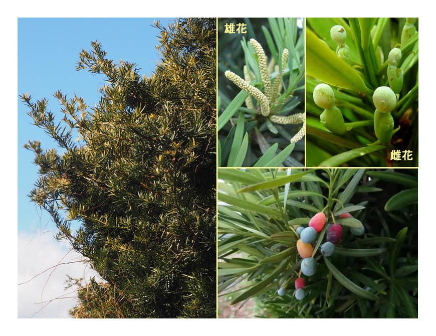 赤い実の木(33) イヌマキ