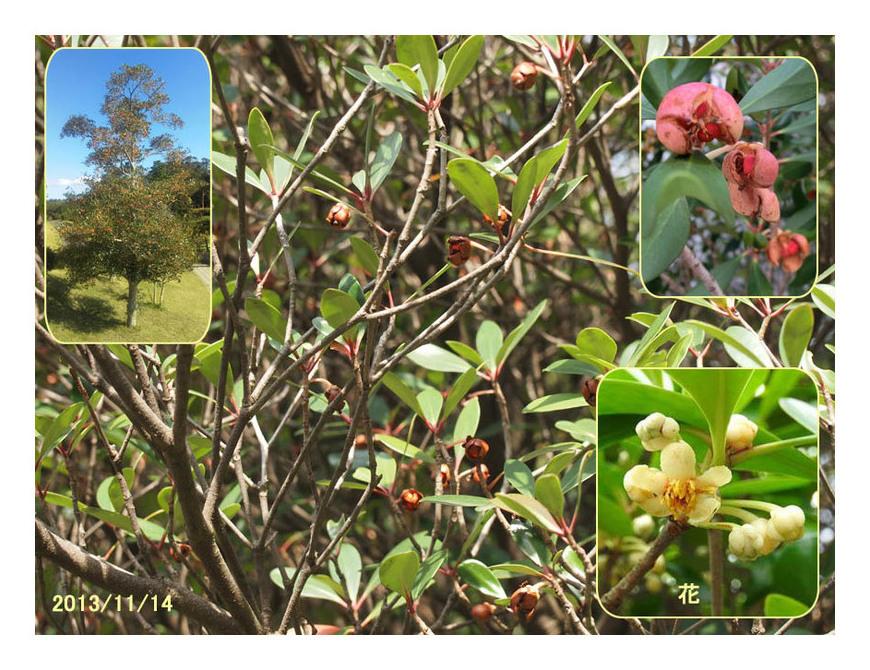 赤い実の木(34) モッコク