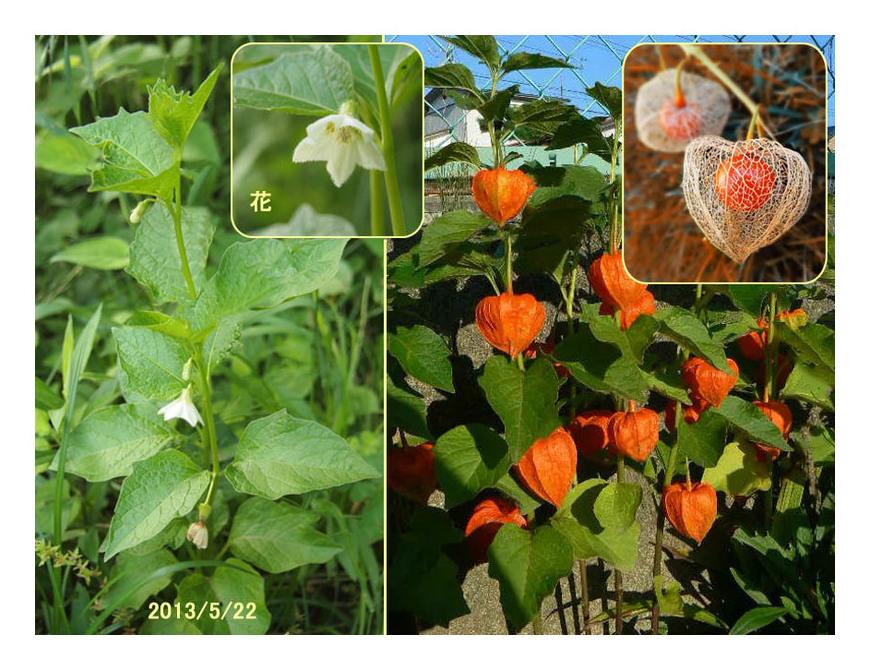 赤い実の草(3) ホオズキ