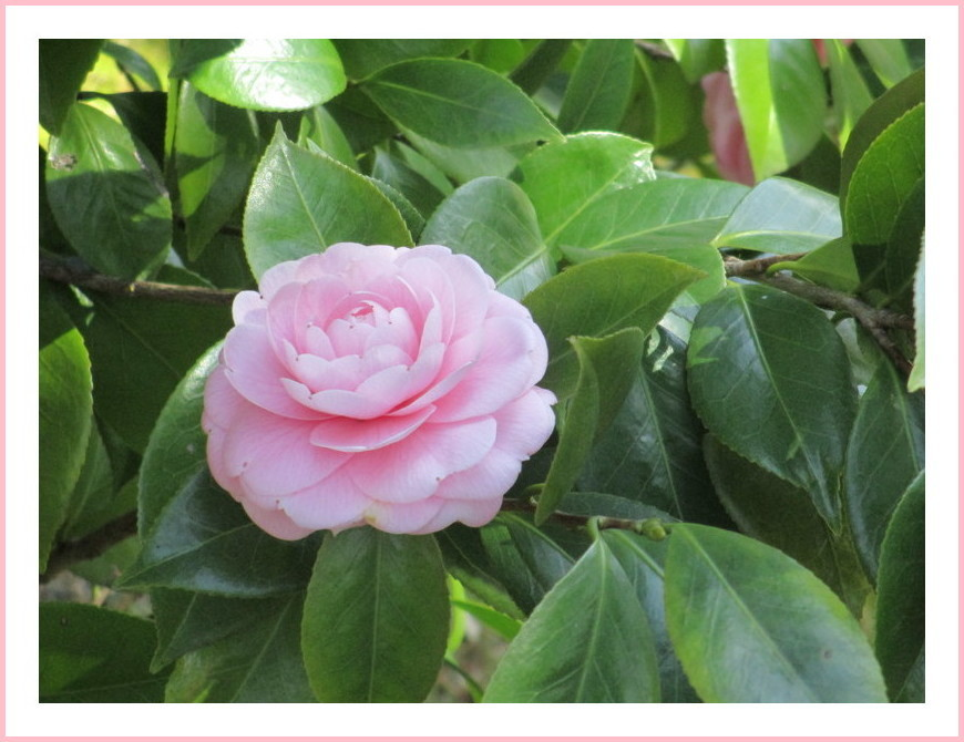 八重椿(ピンク)