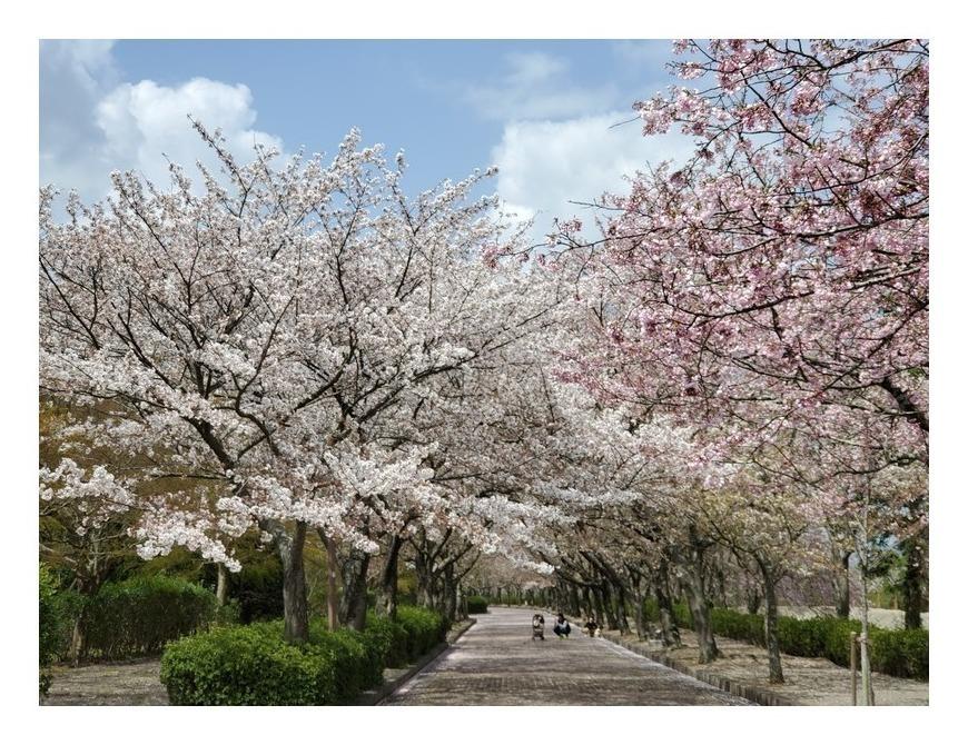 京都府亀岡市の和らぎの道 染井吉野と八重桜の並木道