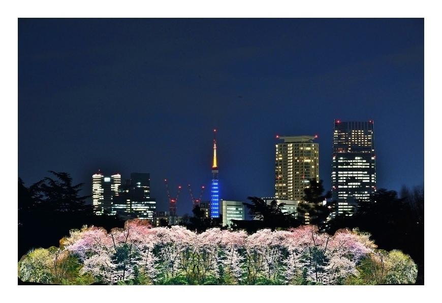 東京タワ〜夜桜