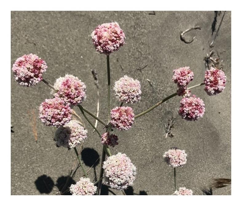 夏の砂丘のお花