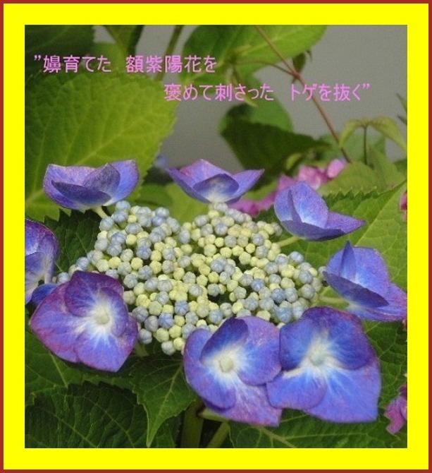 額紫陽花の効用
