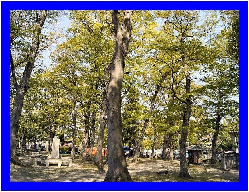 欅の大木の新緑(山形)