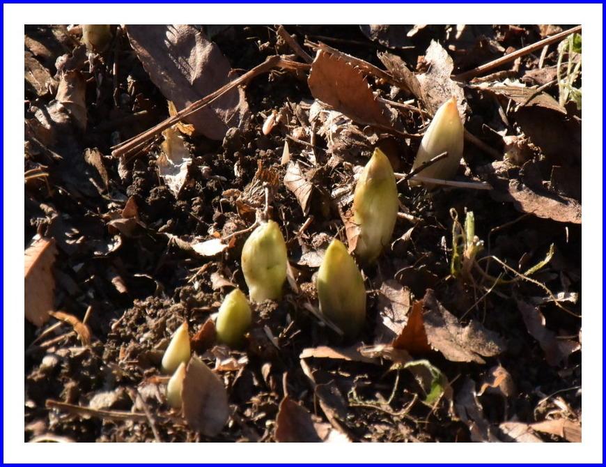 春を待つ福寿草