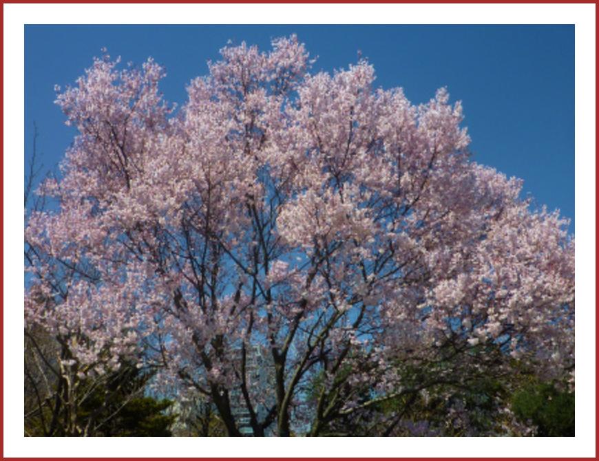 都立・木場公園の桜